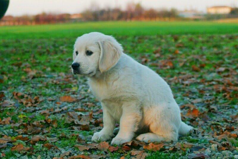 cucciolo golden
